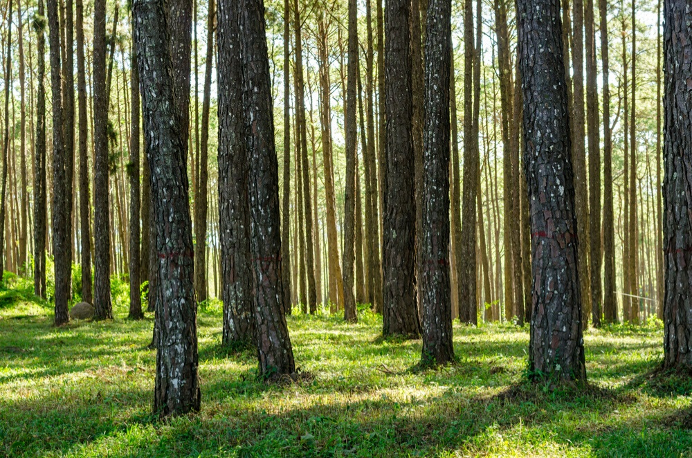 Tall thin trees in a wood with green follage in the undergrowth