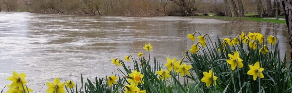 National Trust Weir Gardens a flooded river with daffodils in the foreground